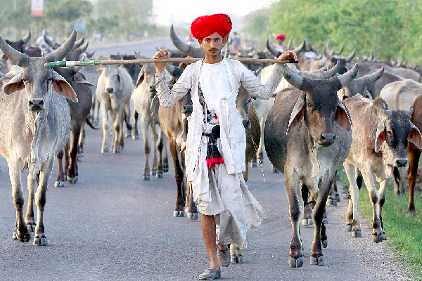 Why most of Hindus in India don't eat beef? Here's why ~ News Aur Chai
